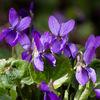 Garten, Makro, Veilchen, Blumen