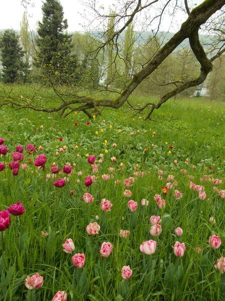 Wasser, Susannegottschalk, Meditationdatei214, Tulpen, Sommer, Garten