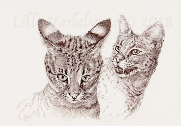 Savannahcat, Monochrom, Illustration, Katze, Tusche, Katzenkrimi