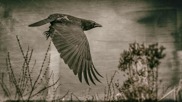 Vogel, Gewässer, Fluss, Kanal, Krähe, Fliegen