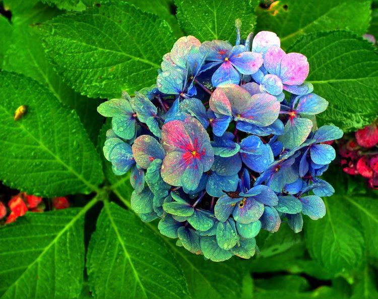 Fotografie, Blätter, Hortensien, Blüte,
