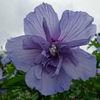 Blüte, Hibiskus, Blau, Fotografie