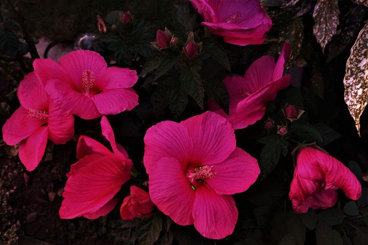 Dämmerung, Blumen, Blüte, Hibiskus, Blätter, Abendrot
