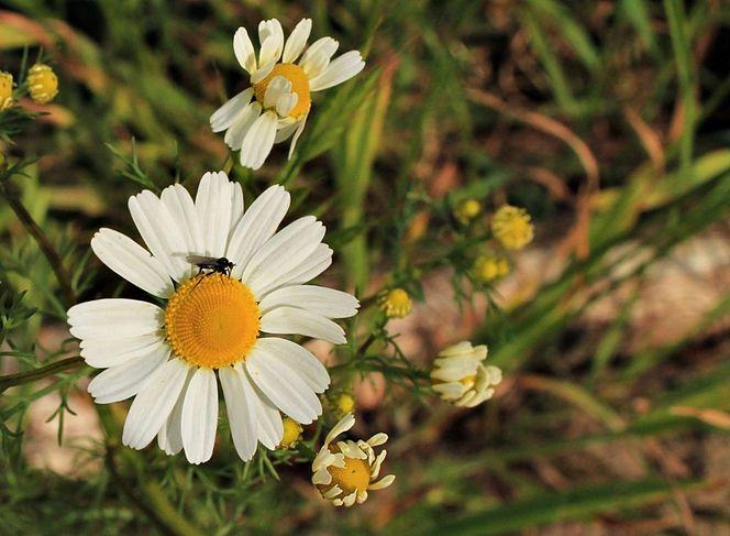 Natur, Blüte, Kamille, Fotografie