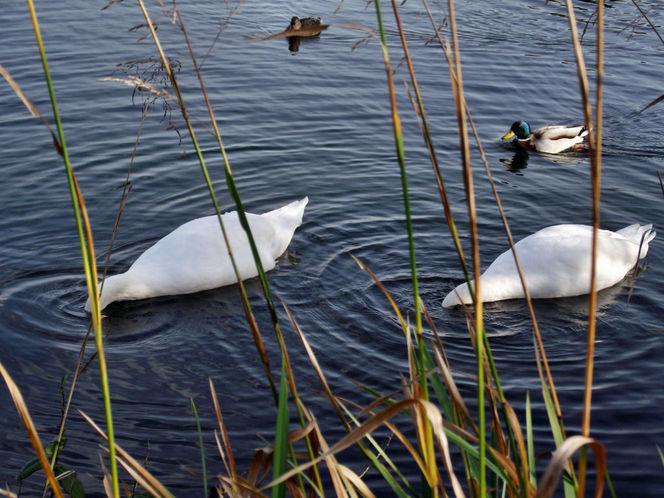 Wasser, Ufer, Schwan, See, Fotografie, Gemeinsam
