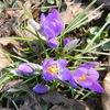 Krocus, Frühling, Natur, Blumen