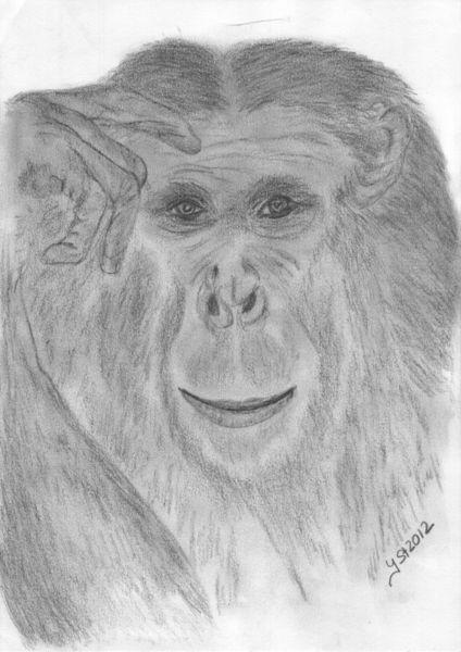 Affe, Portrait, Tierzeichnung, Augen, Tiere, Zeichnungen