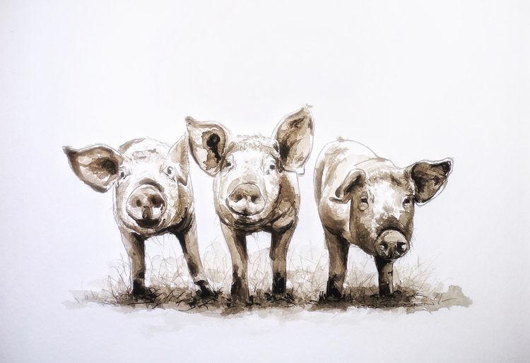 Ferkel, Tusche, Zeichnung, Schwein, Zeichnungen