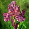 Flora, Schwertlilie, Sommer, Bartiris