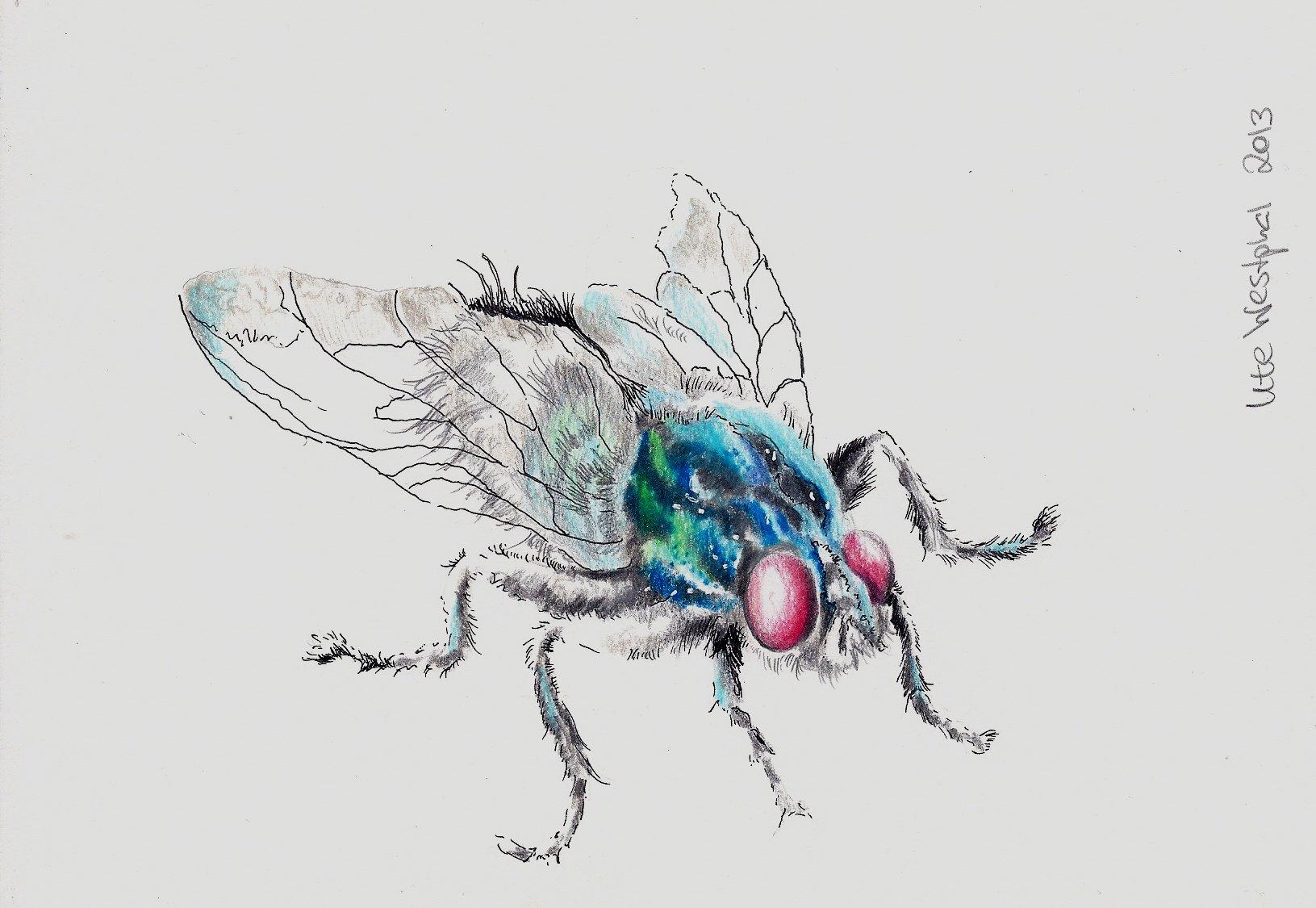 fliege  insekten fliege tiere portrait von panter bei