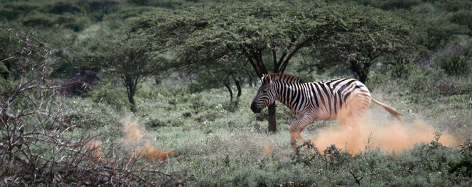 Südafrika, Rennen, Kwazulunatal, Safari, Nationalpark, Zebra