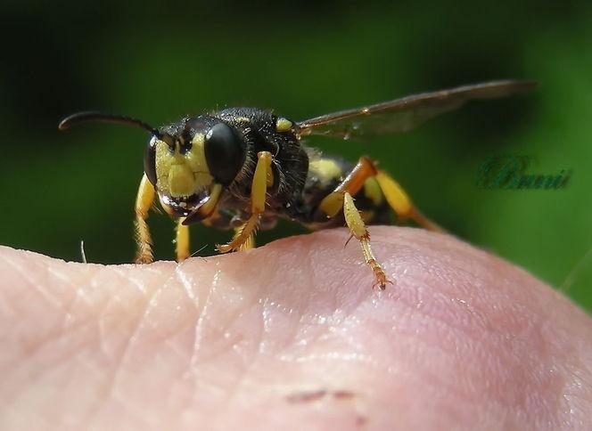 Makro, Wespe, Fliege, Tiere, Insekten, Fotografie