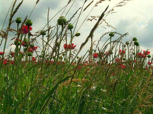 Grün, Mohn, Rot, Feld, Mohnblumen, Blüte