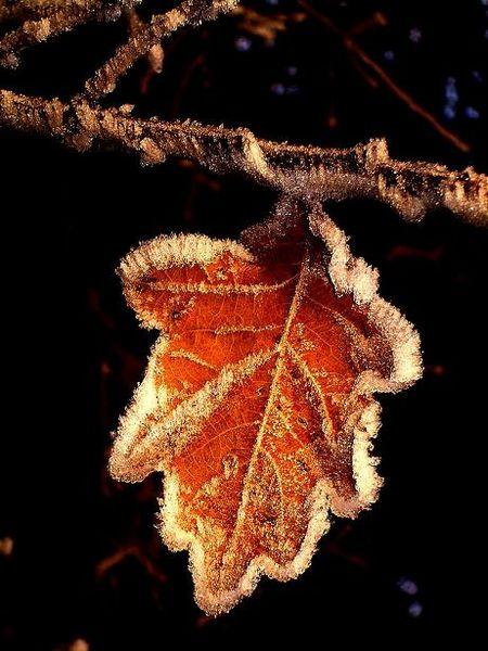 Frost, Winter, Starre, Blätter, Fotografie