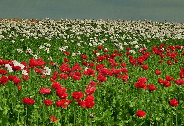 Rot, Blüte, Feld, Mohn, Mohnblumen, Fotografie