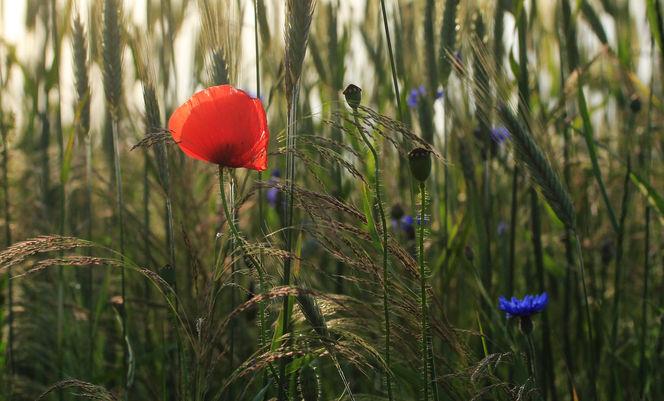 Blumen, Kornfeld, Mohn, Fotografie