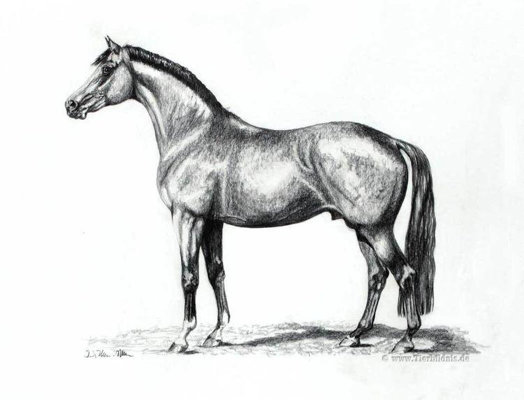 Tierzeichnung, Tierportrait, Pferdezeichnung, Deckhengst, Realismus, Bleistiftzeichnung