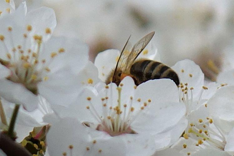 Blüte, Frühling, Biene, Fotografie