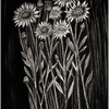 Pflanzen, Blumen, Margareten, Schwarz weiß