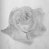 Rose - Rose, Zeichnung,