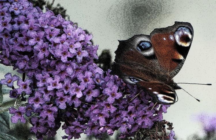 Schmetterling, Gewirr, Insekten, Blüte, Lila, Sommerflieder