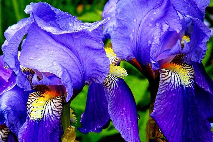 Iris, Blau, Fotografie, Nacht,