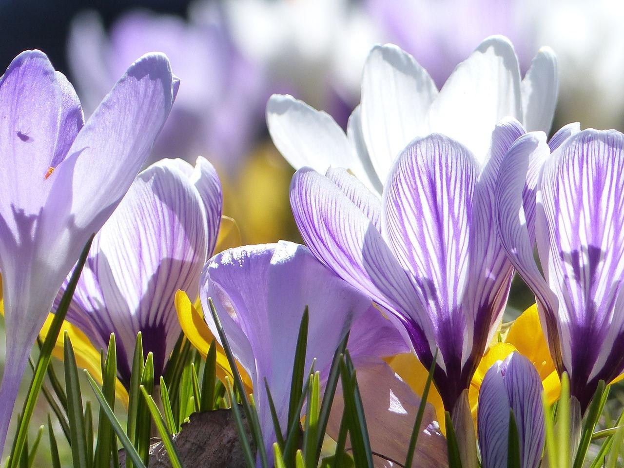 Bild: Krokus, Sonne, Licht, Frühling von geDanke bei KunstNet