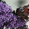 Schmetterling, Gewirr, Insekten, Blüte