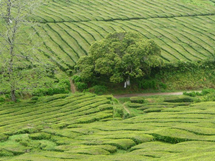 Azoren, Tee, Grün, Pflanzen, Teeplantage, Fotografie