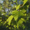 Blätter, Baum, Natur, Fotografie