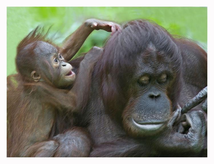 Menschenaffen, Urwald, Primat, Wild, Orang utan, Affenbaby