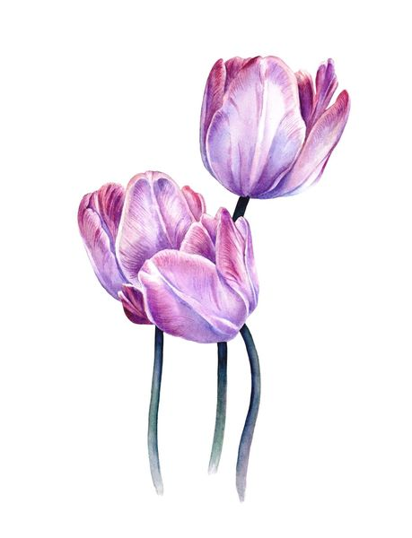 Botanik, Tulpen, Blumen, Pflanzen, Aquarellmalerei, Aquarell