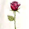Rose, Rot, Blumen, Liebe
