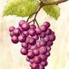 Pflanzen, Herbst, Wein, Lila