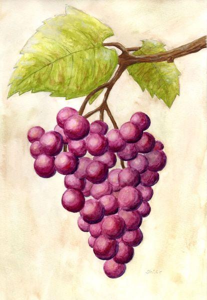 Trauben, Herbst, Pflanzen, Wein, Lila, Natur