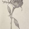 Bleistiftzeichnung, Zeichnung, Schwarz weiß, Rose