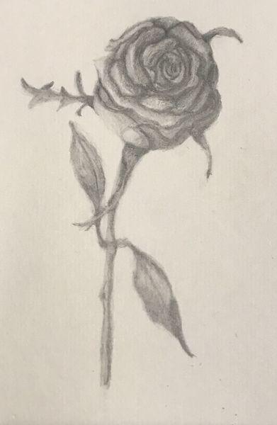 Rose, Bleistiftzeichnung, Zeichnung, Schwarz weiß, Zeichnungen,