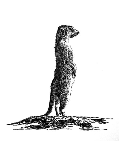 Wächter, Illustration, Erdmännchen, Tiere, Zeichnungen