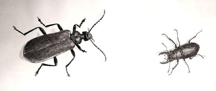 Insekten, Feuerkäfer, Hirschkäfer, Zeichnungen