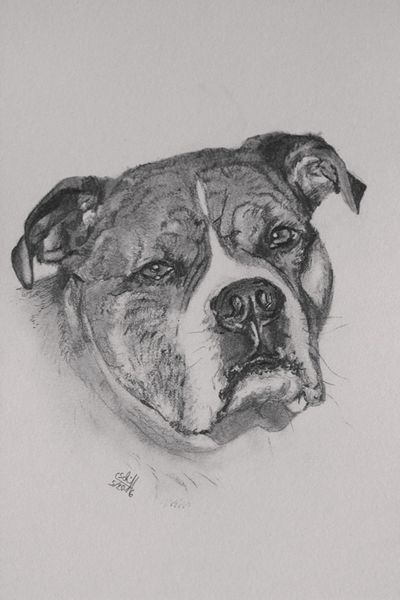 Hund, American staffordshire terrier, Bleistiftzeichnung, Zeichnungen