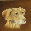 Vizsla, Portrait, Hund, Zeichnungen