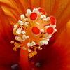 Blumen, Staubgefäße, Orange, Fotografie
