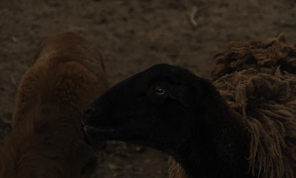 Ziegen, Draußen, Kopf, Schaf, Stadt, Portrait
