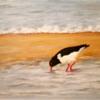Langeoog, Wattenmeer, Austernfischer, Sandbank