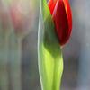 Spiegelung, Licht, Fenster, Tulpen