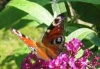 Pflanzen, Fotografie, Schmetterling