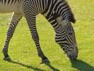 Zebra, Fell, Zoo, Tiere