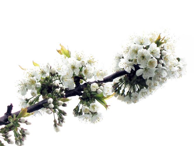 Baumblüte, Blüte, Frühling, Baum, Fotografie, Landschaft