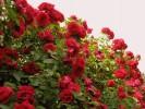 Sommer, Landschaft, Rose, Fotografie