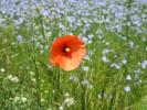 Sommer, Mohn, Landschaft, Blüte